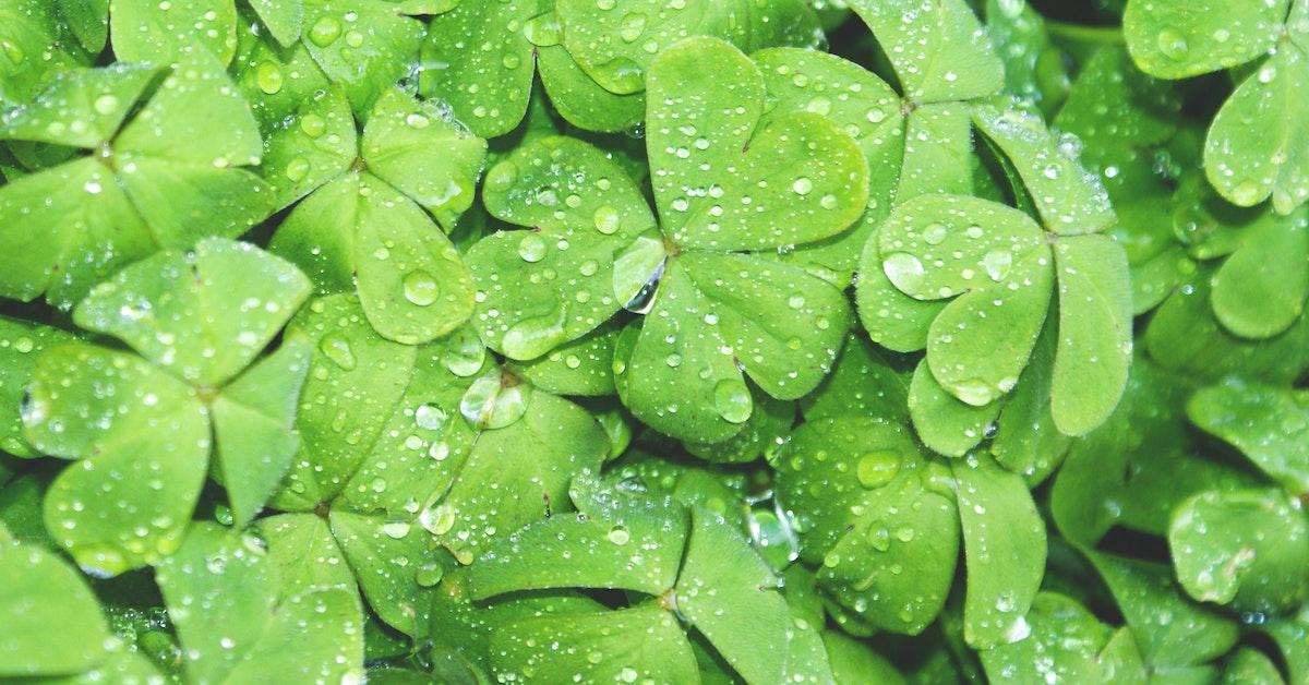 quadrifogli verdi