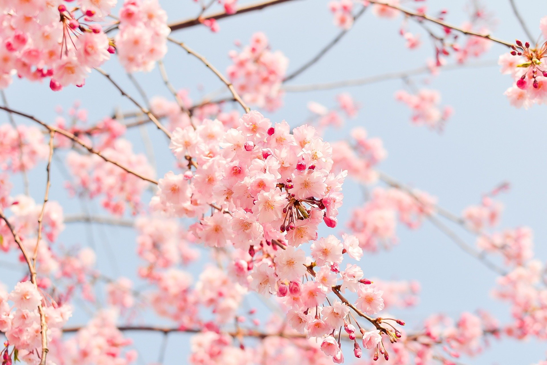 ciliegi in primavera